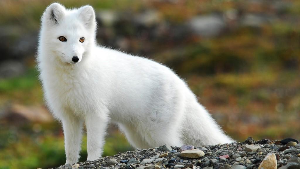 american-arctic-fox