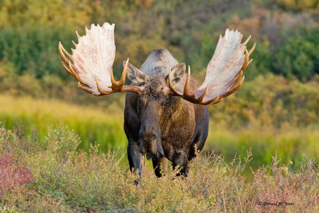 asia-elk