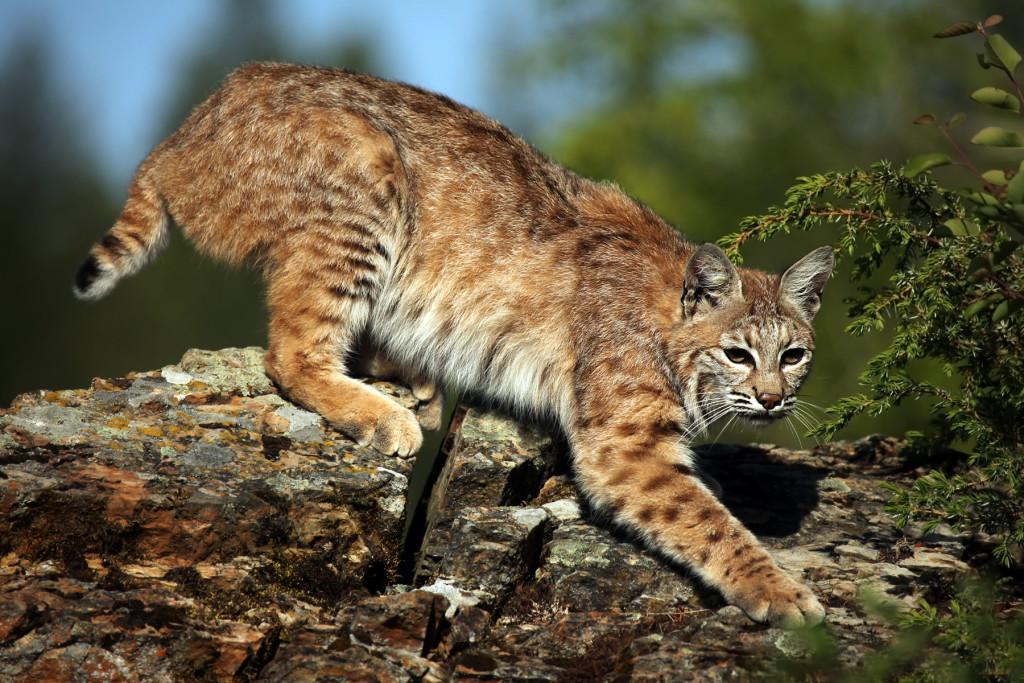 american-bobcat