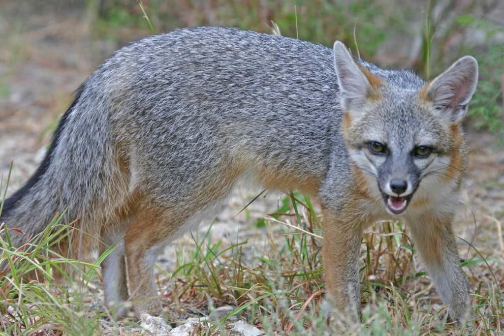 american-grey-fox