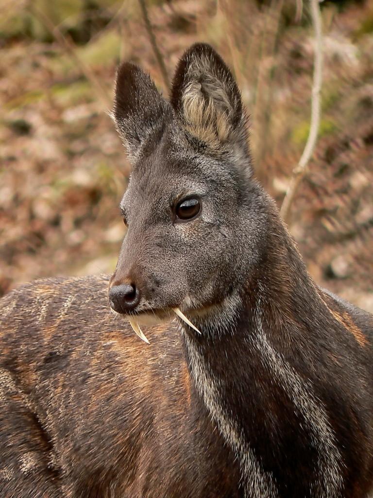 siberian-musk-deer