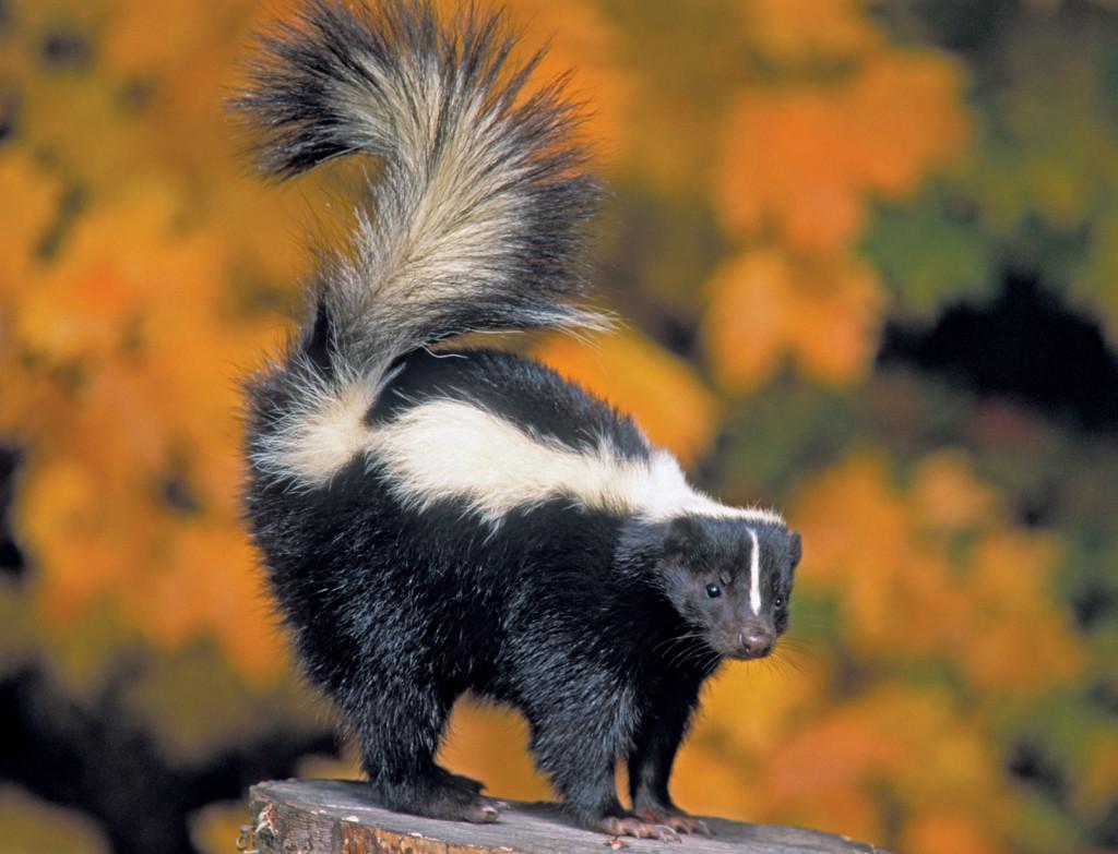 american-skunk